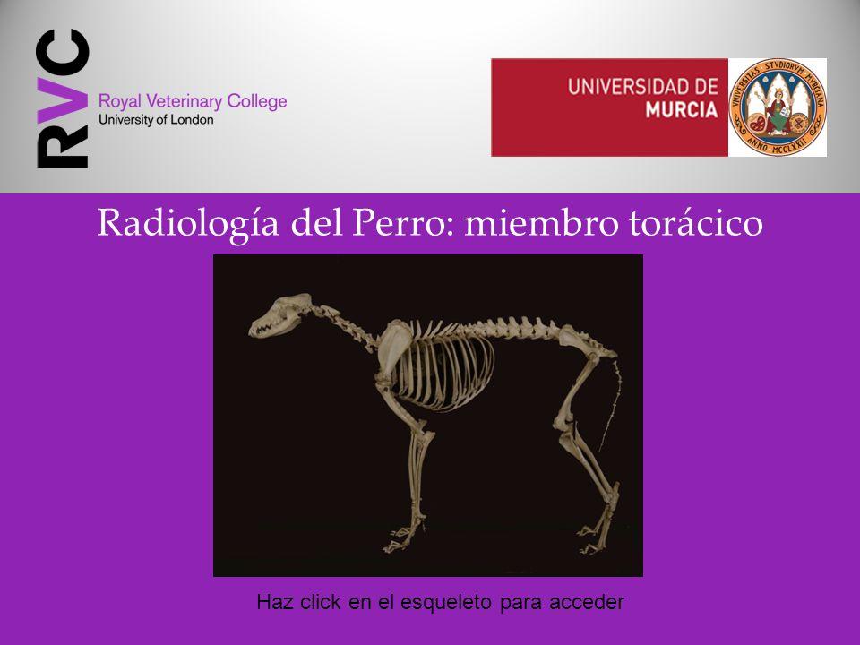 Radiología del Perro: miembro torácico Haz click en el esqueleto para acceder
