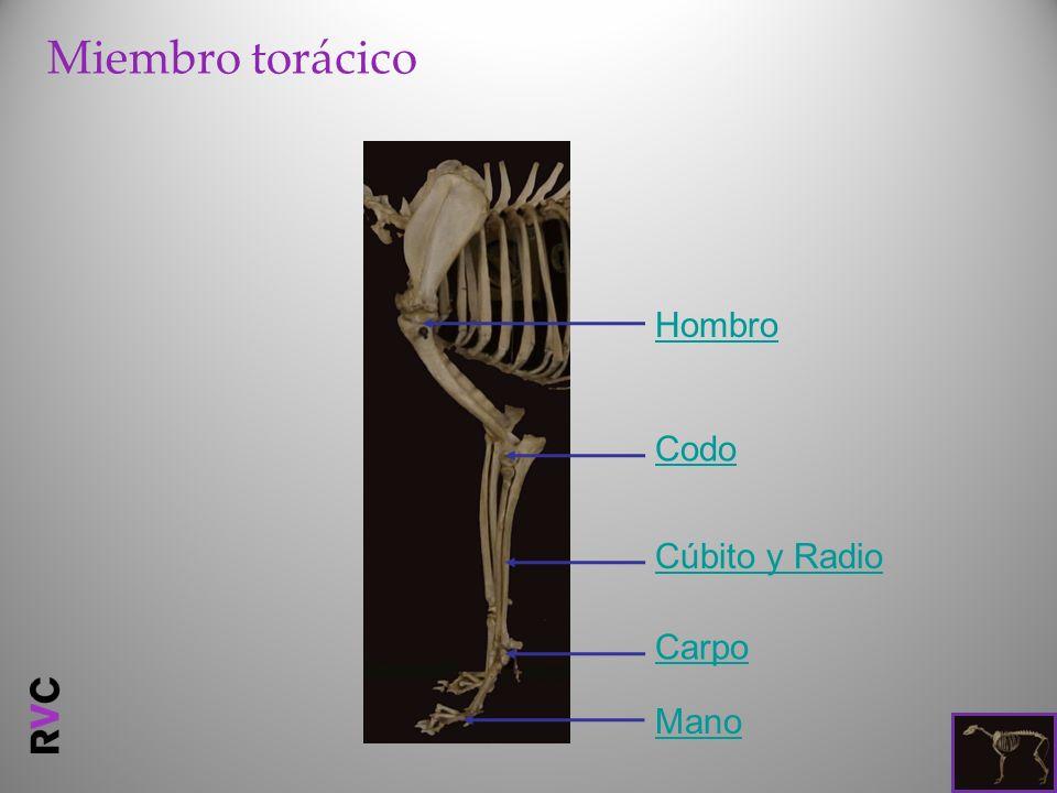 Miembro torácico Hombro Codo Cúbito y Radio Carpo Mano