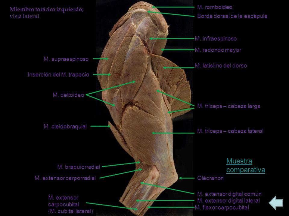 Borde dorsal de la escápula M.infraespinoso M. supraespinoso Inserción del M.