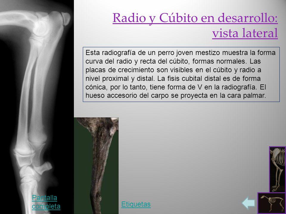 Radio y Cúbito en desarrollo: vista lateral Etiquetas Pantalla completa Esta radiografía de un perro joven mestizo muestra la forma curva del radio y recta del cúbito, formas normales.