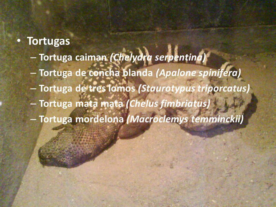 Tortugas – Tortuga caiman (Chelydra serpentina) – Tortuga de concha blanda (Apalone spinifera) – Tortuga de tres lomos (Staurotypus triporcatus) – Tor