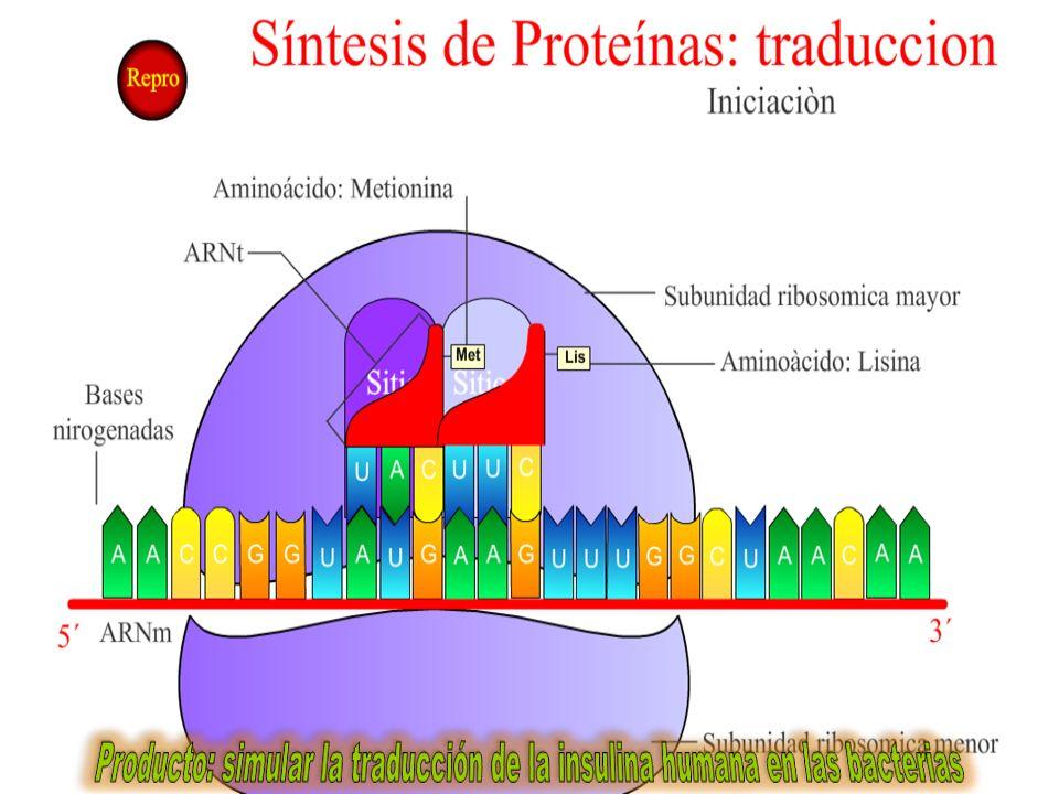 AAAAAAAAAAA P A Elongación VII: Se libera el ARNt correspondiente al segundo aminoácido, la cisteína (cis).