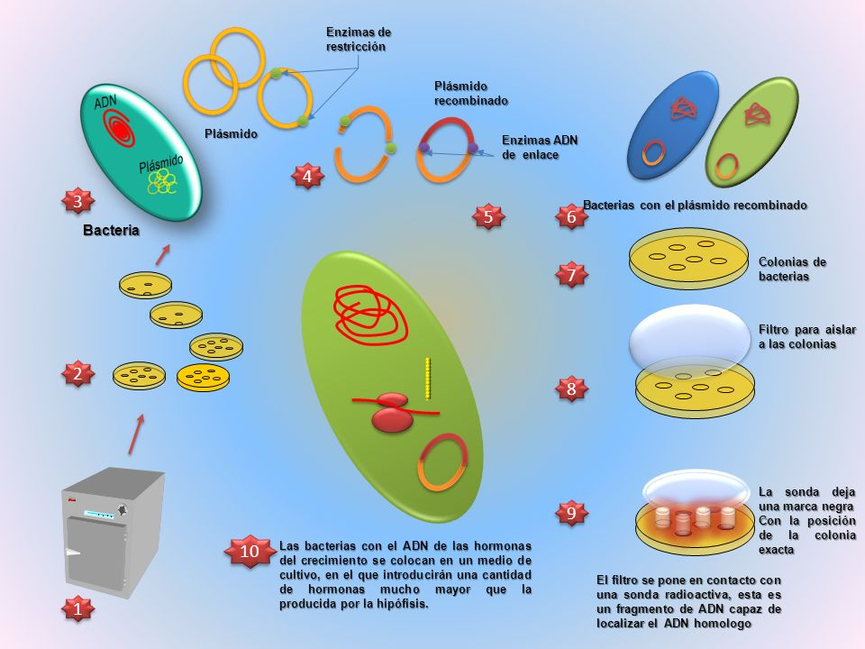 Simula la fabricación de la hormona insulina en el ribosoma de la bacteria pero solamente para la traducción de los ochos primeros aminoácidos que conforman la proteína.