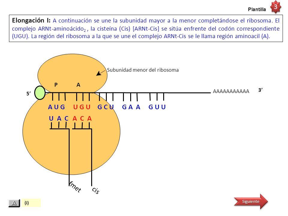 ARNm AAAAAAAAAAA P A U A C Elongación II: Se forma el enlace peptídico entre el grupo carboxilo de la Formilmetionina (fmet) y el grupo amino del segundo aminoácido, la cisteína (Cis).