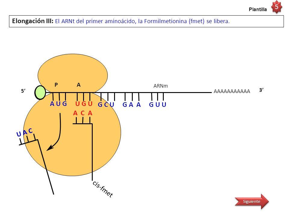 AAAAAAAAAAA P A Elongación IV: El ARNm se traslada, de tal manera que el complejo ARNt-Cis-fmet queda en la región peptidil del ribosoma, quedando ahora la región aminoacil (A) libre para la entrada del complejo ARNt- aa 3 3 cis-fmet A C A ARNm A U G U G U 5 G C U G A A G U U 6 6 Plantilla Siguiente