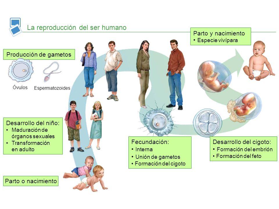 La reproducción del ser humano Parto o nacimiento Desarrollo del niño: Maduración de órganos sexuales Transformación en adulto Producción de gametos F