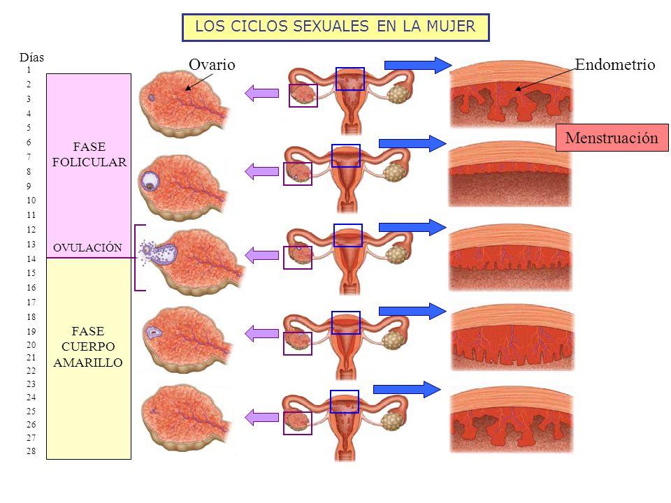 LOS CICLOS SEXUALES EN LA MUJER Menstruación FASE FOLICULAR FASE CUERPO AMARILLO 1 2 3 4 5 6 7 8 9 10 11 12 13 14 15 16 17 18 19 20 21 22 23 24 25 26