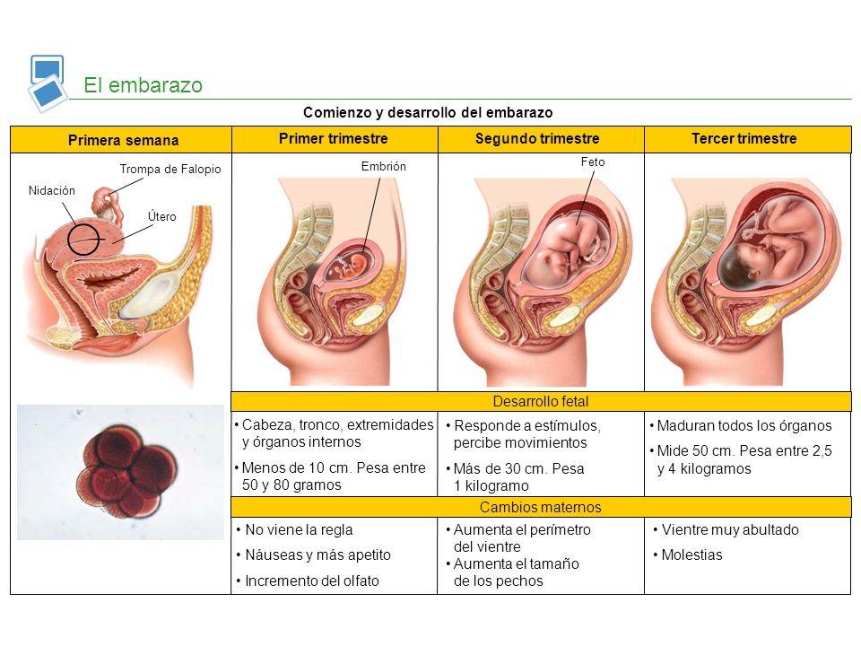 El embarazo Comienzo y desarrollo del embarazo Primera semana Primer trimestreSegundo trimestreTercer trimestre Trompa de Falopio Útero Nidación Embri