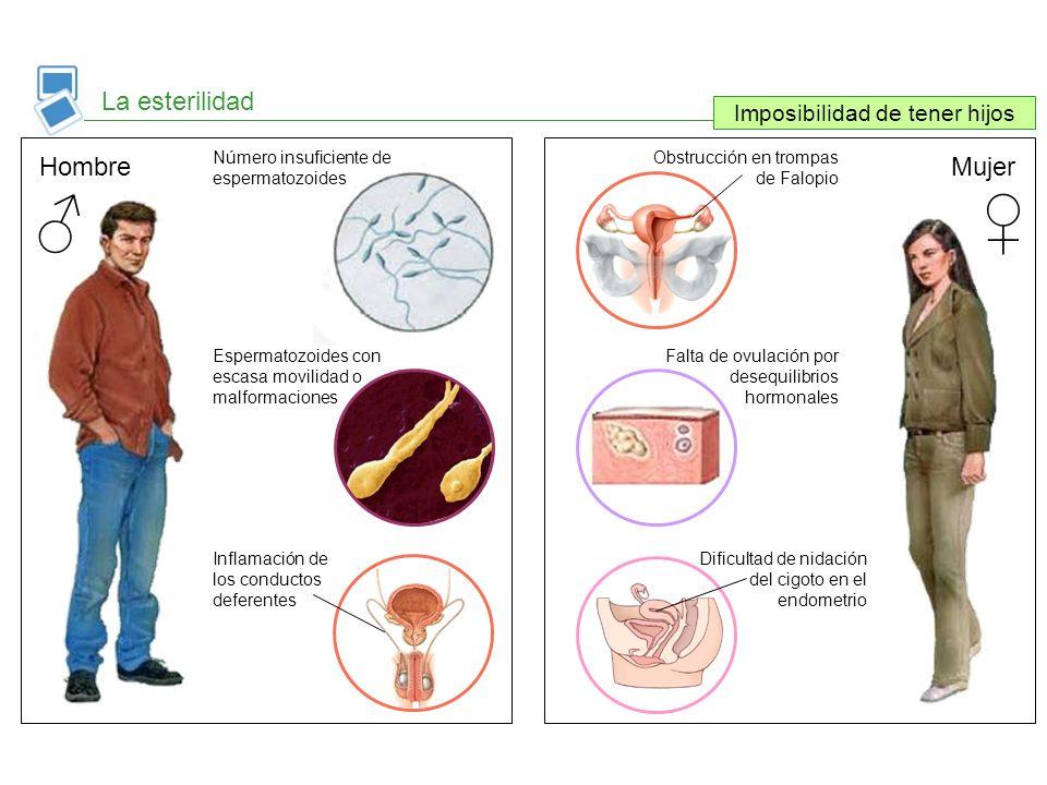 La esterilidad Imposibilidad de tener hijos HombreMujer Número insuficiente de espermatozoides Espermatozoides con escasa movilidad o malformaciones I