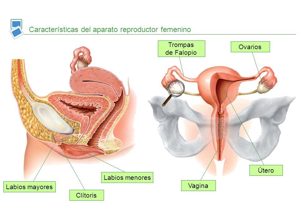 Características del aparato reproductor femenino Ovarios Trompas de Falopio Útero Vagina Labios mayores Labios menores Clítoris