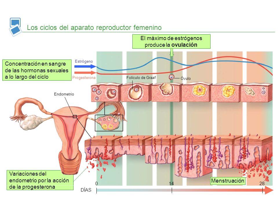 Variaciones del endometrio por la acción de la progesterona Los ciclos del aparato reproductor femenino Concentración en sangre de las hormonas sexual