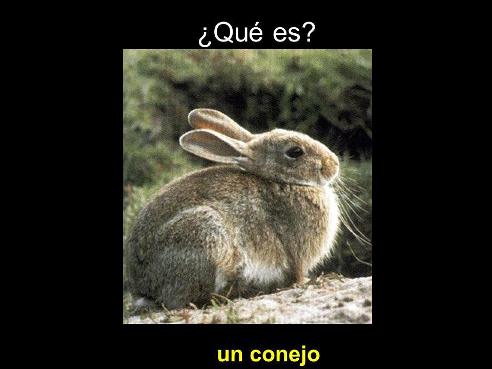 ¿Qué es? un conejo