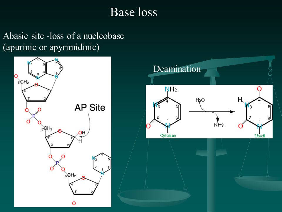 Abasic site -loss of a nucleobase (apurinic or apyrimidinic) Deamination Base loss