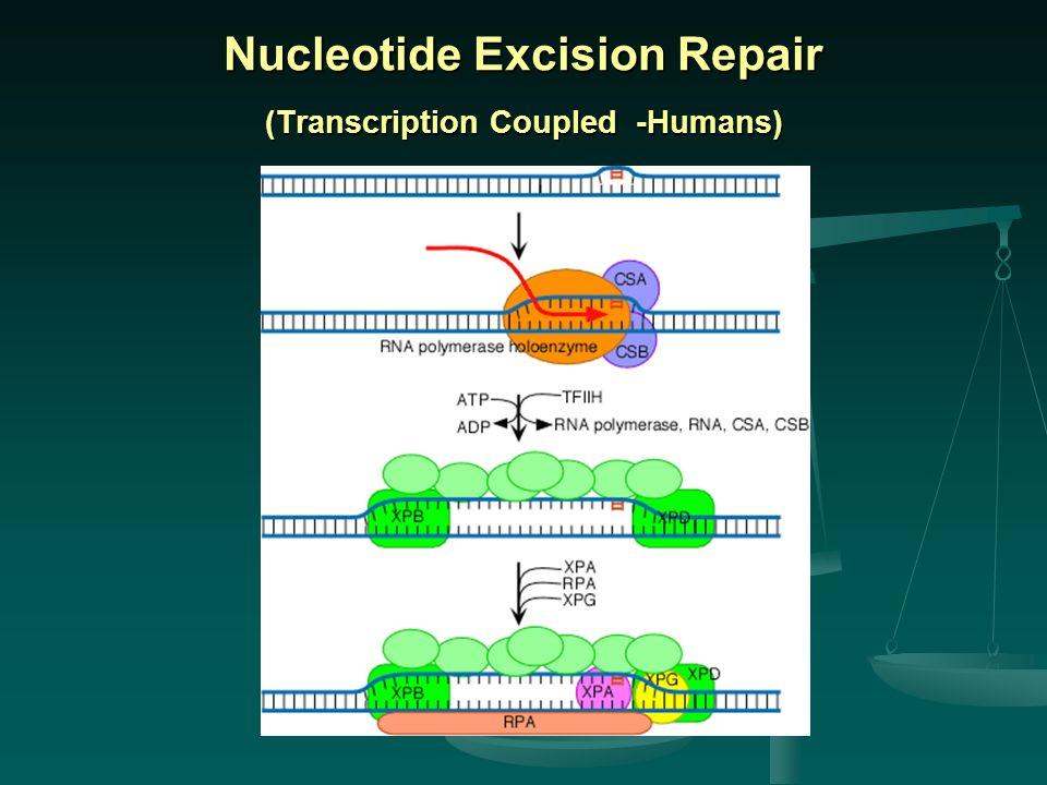Nucleotide Excision Repair (Transcription Coupled -Humans)