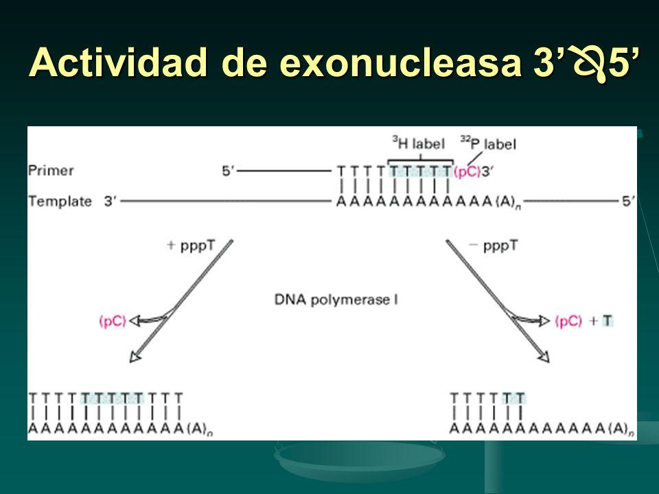 Mutaciones en Mut H, S o L aumenta la tasa de mutaciones espontáneas Mutaciones en Mut H, S o L aumenta la tasa de mutaciones espontáneas Fallas en la metilasa Dam también incrementan la tasa de mutación.