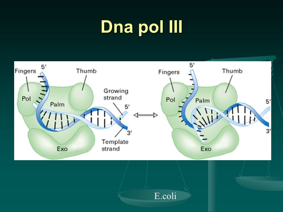Dna pol III E.coli