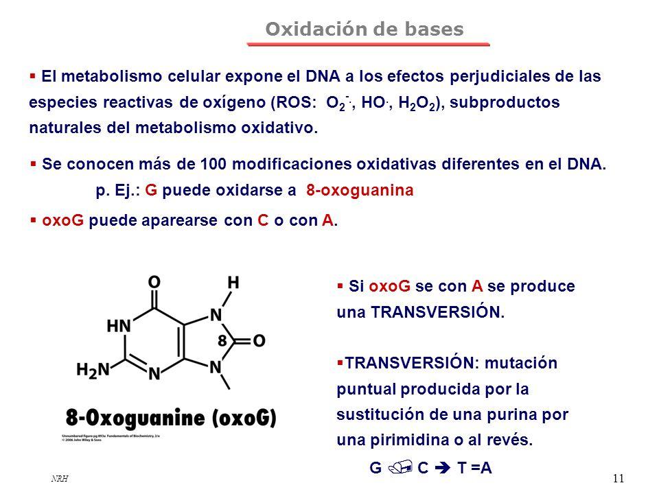 NRH 11 Oxidación de bases El metabolismo celular expone el DNA a los efectos perjudiciales de las especies reactivas de oxígeno (ROS: O 2 -., HO., H 2