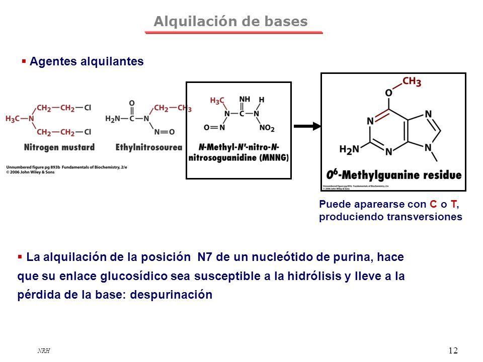 NRH 12 Alquilación de bases Agentes alquilantes Puede aparearse con C o T, produciendo transversiones La alquilación de la posición N7 de un nucleótid