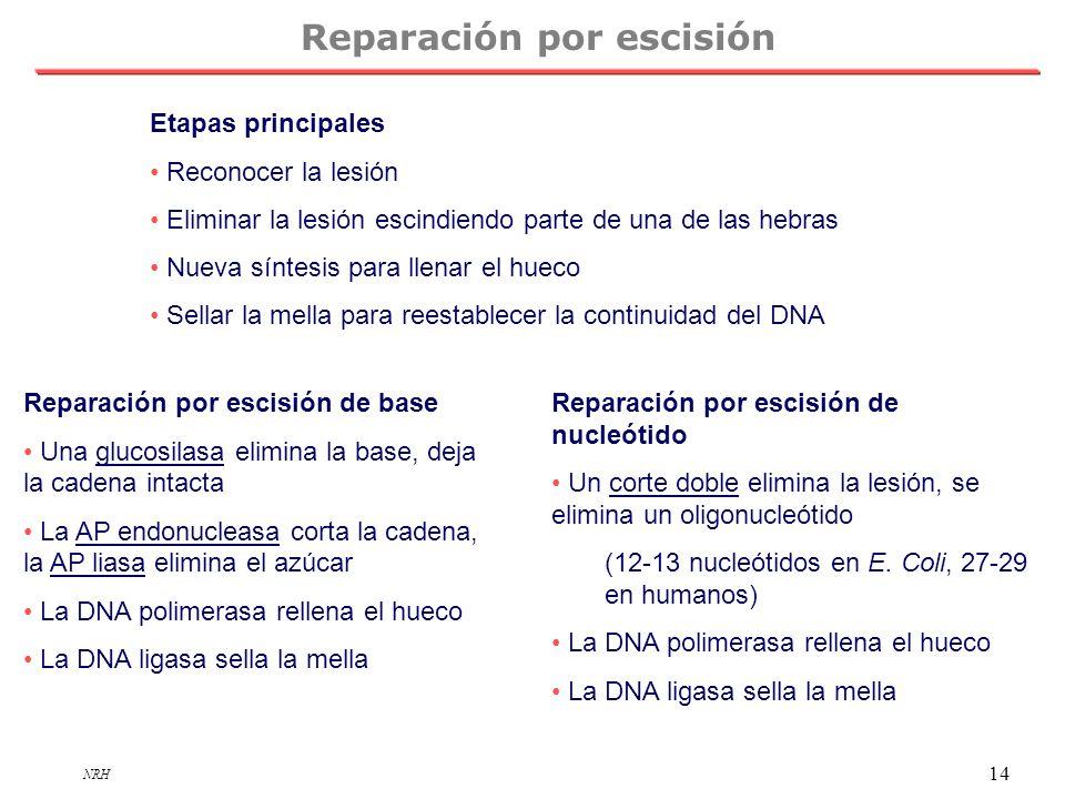 NRH 14 Reparación por escisión Etapas principales Reconocer la lesión Eliminar la lesión escindiendo parte de una de las hebras Nueva síntesis para ll