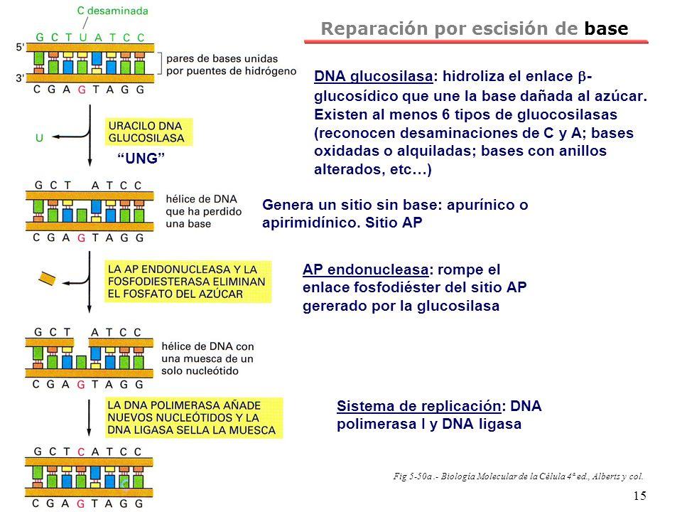 NRH 15 Reparación por escisión de base Fig 5-50a.- Biología Molecular de la Célula 4ª ed., Alberts y col. DNA glucosilasa: hidroliza el enlace - gluco