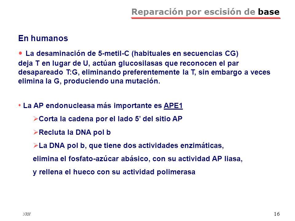 NRH 16 Reparación por escisión de base En humanos La desaminación de 5-metil-C (habituales en secuencias CG) deja T en lugar de U, actúan glucosilasas