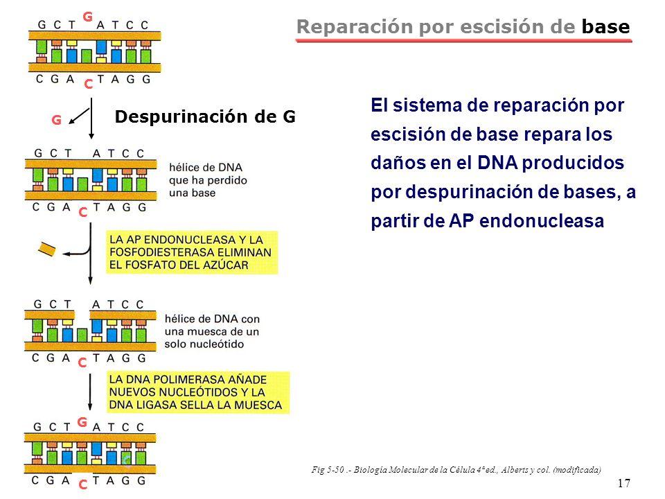 NRH 17 Reparación por escisión de base El sistema de reparación por escisión de base repara los daños en el DNA producidos por despurinación de bases,