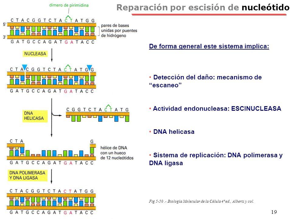 NRH 19 Reparación por escisión de nucleótido De forma general este sistema implica: Detección del daño: mecanismo de escaneo Actividad endonucleasa: E