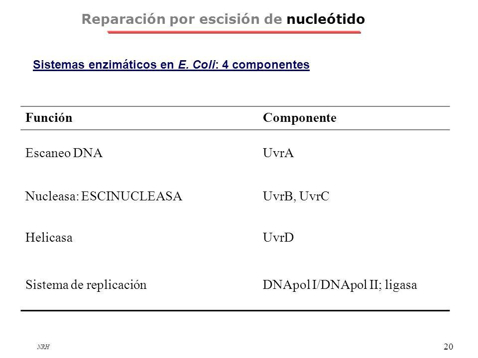 NRH 20 Sistemas enzimáticos en E. Coli: 4 componentes Reparación por escisión de nucleótido FunciónComponente Escaneo DNAUvrA Nucleasa: ESCINUCLEASAUv
