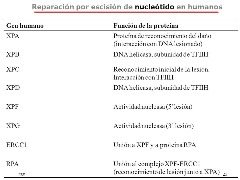 NRH 23 Reparación por escisión de nucleótido en humanos Gen humanoFunción de la proteína XPAProteína de reconocimiento del daño (interacción con DNA l