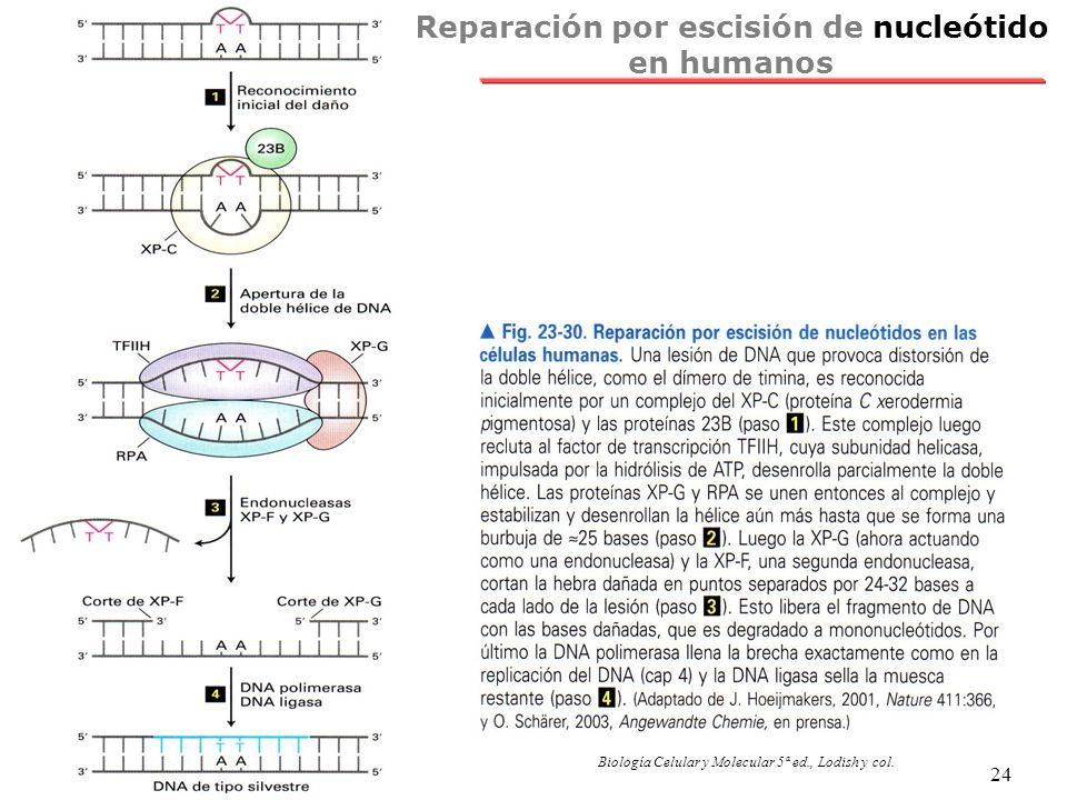 NRH 24 Reparación por escisión de nucleótido en humanos Biología Celular y Molecular 5ª ed., Lodish y col.