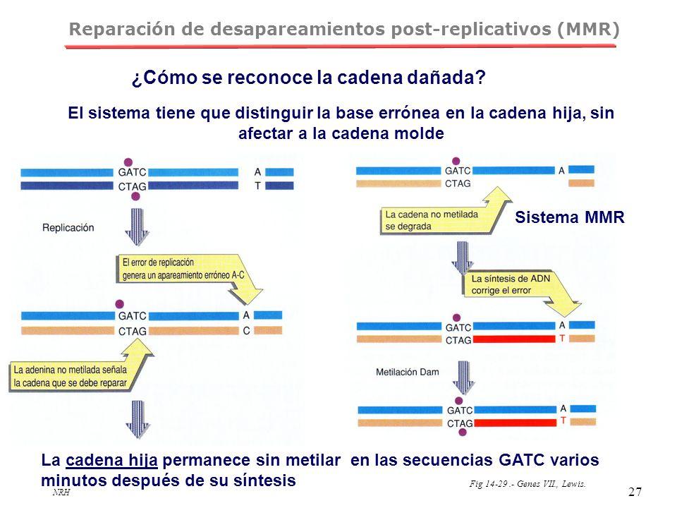 NRH 27 Reparación de desapareamientos post-replicativos (MMR) El sistema tiene que distinguir la base errónea en la cadena hija, sin afectar a la cade
