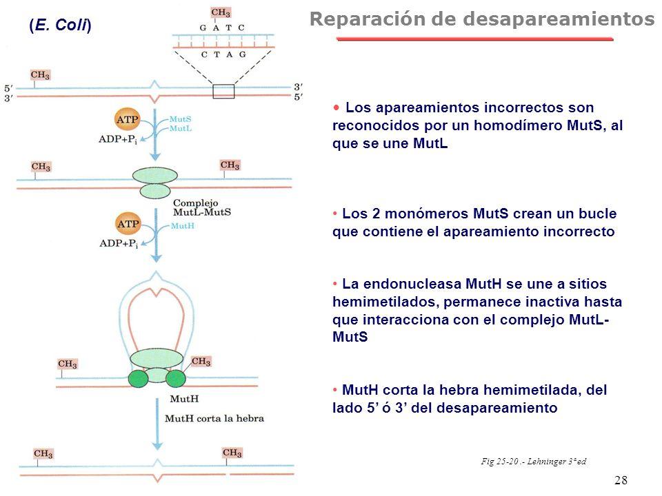 NRH 28 Reparación de desapareamientos (E. Coli) Fig 25-20.- Lehninger 3ª ed Los apareamientos incorrectos son reconocidos por un homodímero MutS, al q