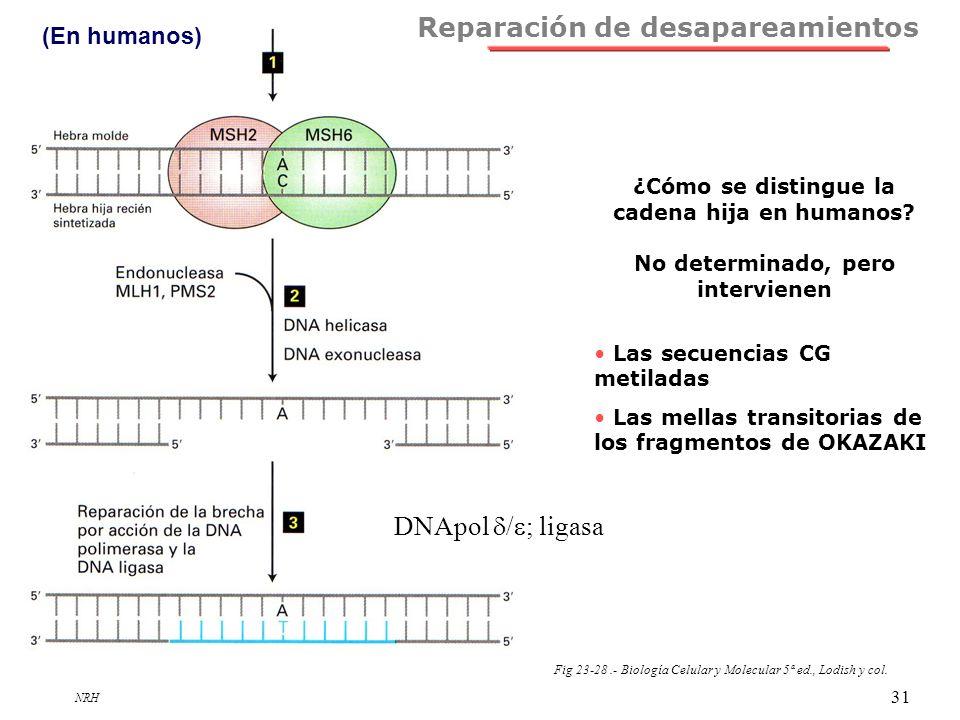 NRH 31 Fig 23-28.- Biología Celular y Molecular 5ª ed., Lodish y col. Reparación de desapareamientos (En humanos) DNApol / ; ligasa ¿Cómo se distingue