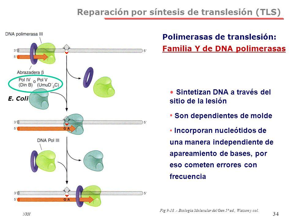 NRH 34 Reparación por síntesis de translesión (TLS) Polimerasas de translesión: Familia Y de DNA polimerasas Sintetizan DNA a través del sitio de la l
