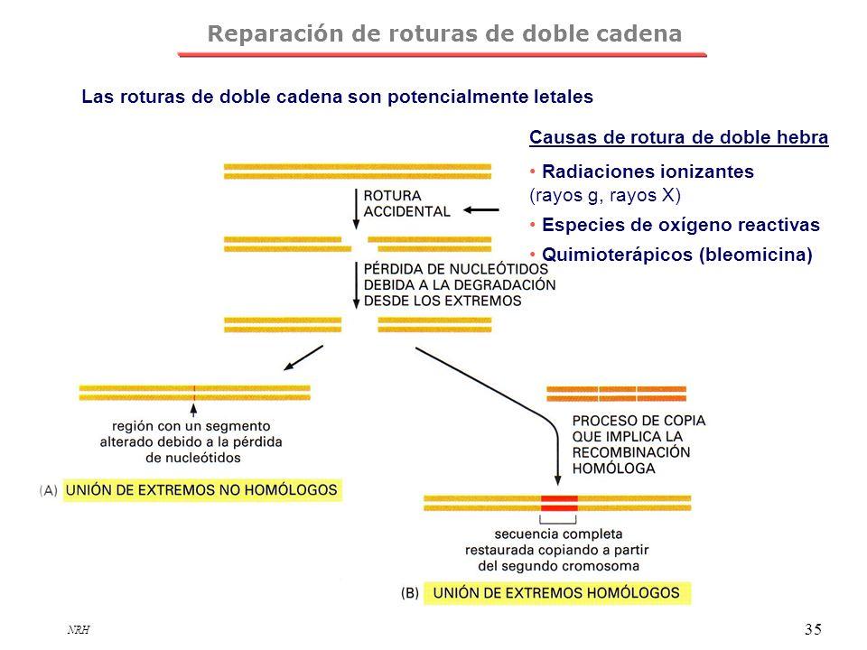 NRH 35 Reparación de roturas de doble cadena Las roturas de doble cadena son potencialmente letales Causas de rotura de doble hebra Radiaciones ioniza