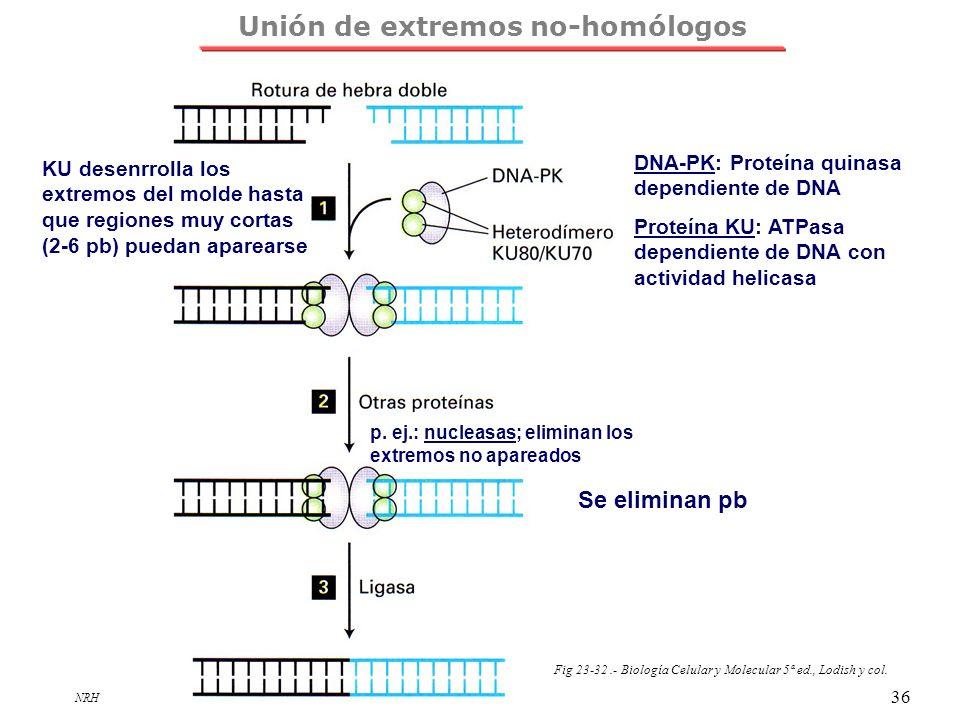 NRH 36 Fig 23-32.- Biología Celular y Molecular 5ª ed., Lodish y col. DNA-PK: Proteína quinasa dependiente de DNA Proteína KU: ATPasa dependiente de D