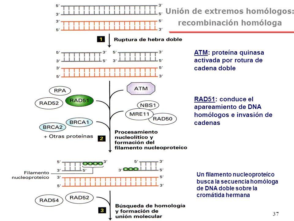NRH 37 ATM: proteína quinasa activada por rotura de cadena doble Unión de extremos homólogos: recombinación homóloga Un filamento nucleoproteíco busca