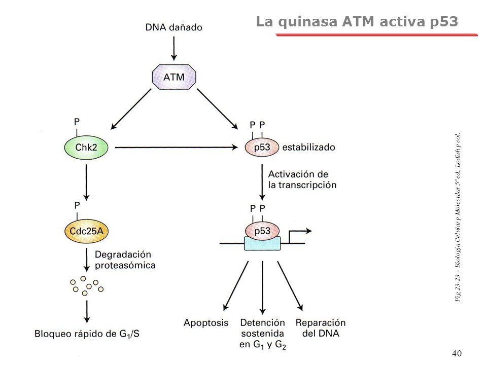 NRH 40 Fig 23-23.- Biología Celular y Molecular 5ª ed., Lodish y col. La quinasa ATM activa p53