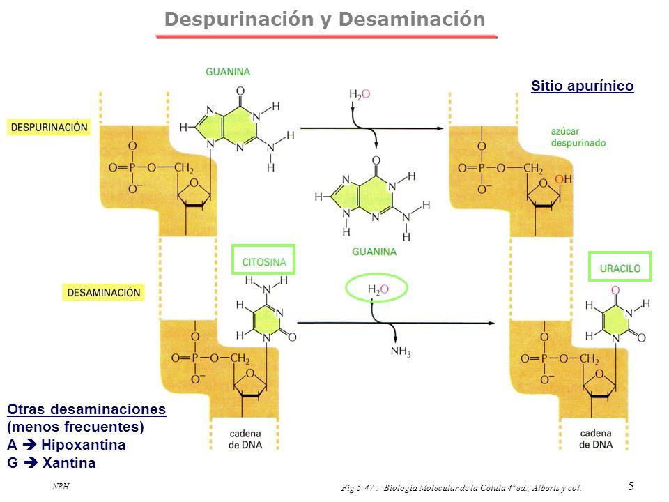 NRH 5 Despurinación y Desaminación Fig 5-47.- Biología Molecular de la Célula 4ª ed., Alberts y col. Sitio apurínico Otras desaminaciones (menos frecu
