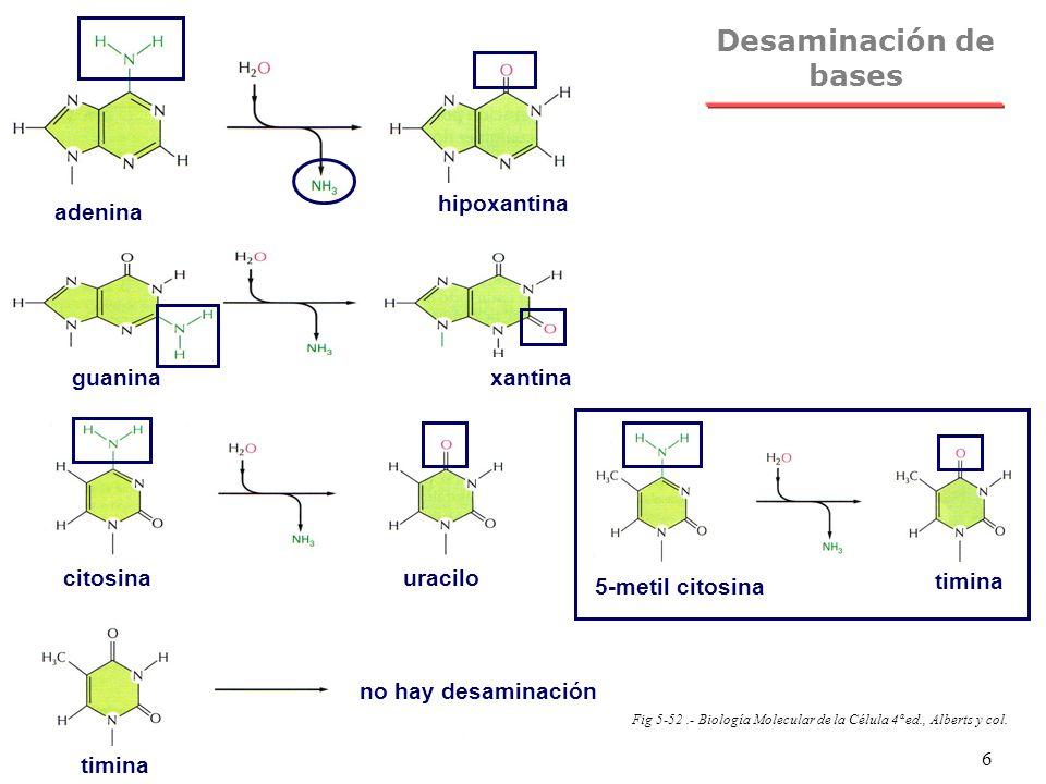 NRH 6 Desaminación de bases adenina hipoxantina guaninaxantina citosinauracilo timina no hay desaminación 5-metil citosina timina Fig 5-52.- Biología