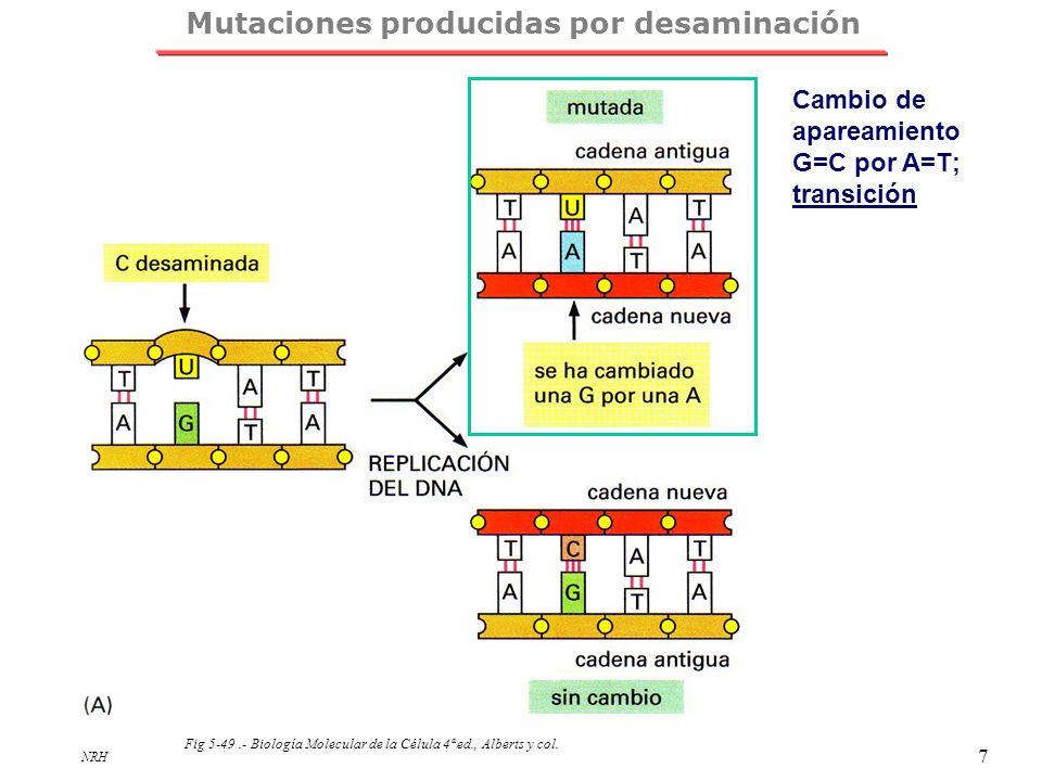 NRH 7 Mutaciones producidas por desaminación Fig 5-49.- Biología Molecular de la Célula 4ª ed., Alberts y col. Cambio de apareamiento G=C por A=T; tra