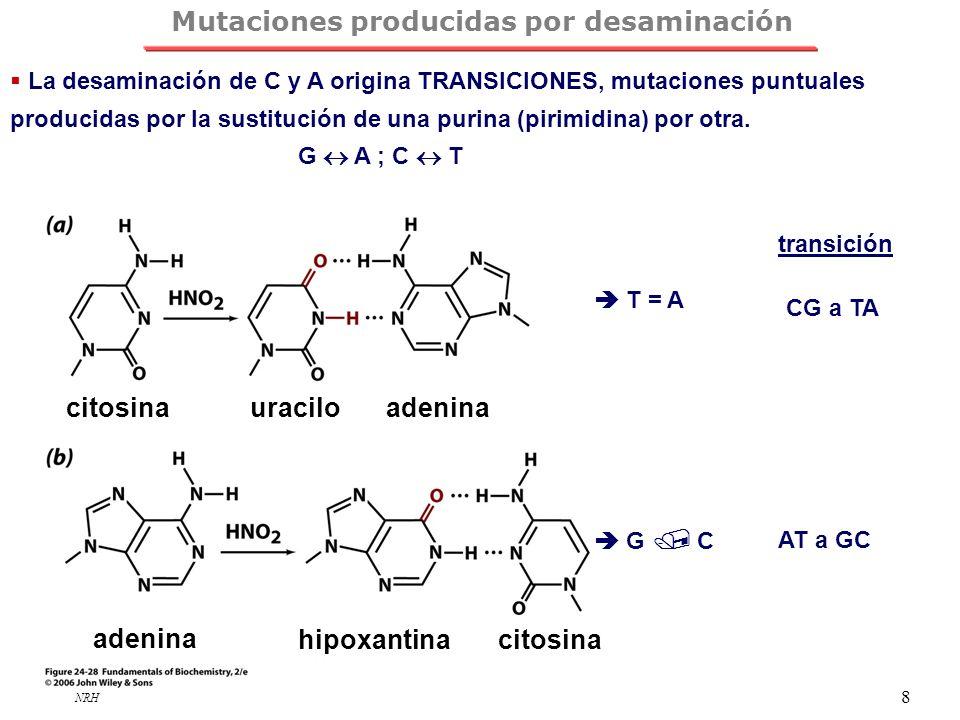 NRH 8 Mutaciones producidas por desaminación La desaminación de C y A origina TRANSICIONES, mutaciones puntuales producidas por la sustitución de una