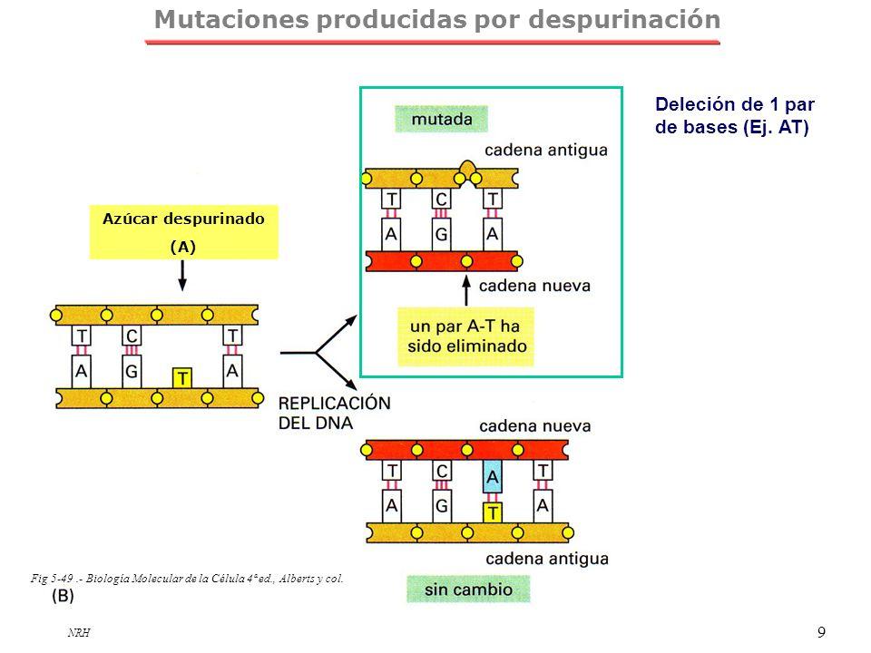 NRH 9 Azúcar despurinado (A) Fig 5-49.- Biología Molecular de la Célula 4ª ed., Alberts y col. Mutaciones producidas por despurinación Deleción de 1 p