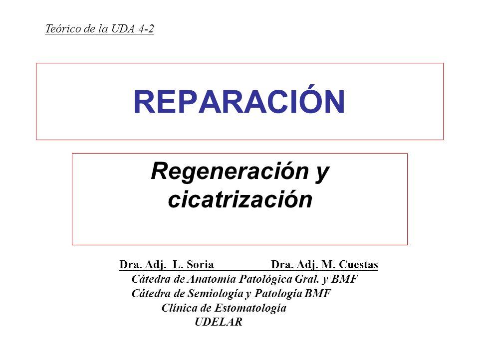REPARACIÓN Regeneración y cicatrización Dra. Adj. L. Soria Dra. Adj. M. Cuestas Cátedra de Anatomía Patológica Gral. y BMF Cátedra de Semiología y Pat
