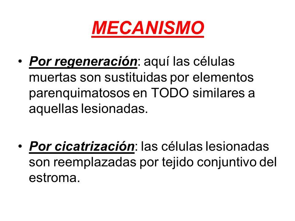 MECANISMO Por regeneración: aquí las células muertas son sustituidas por elementos parenquimatosos en TODO similares a aquellas lesionadas. Por cicatr
