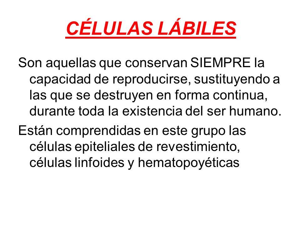 CÉLULAS LÁBILES Son aquellas que conservan SIEMPRE la capacidad de reproducirse, sustituyendo a las que se destruyen en forma continua, durante toda l