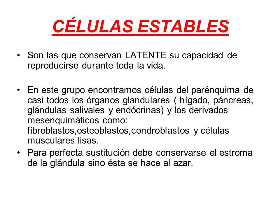 CÉLULAS ESTABLES Son las que conservan LATENTE su capacidad de reproducirse durante toda la vida. En este grupo encontramos células del parénquima de