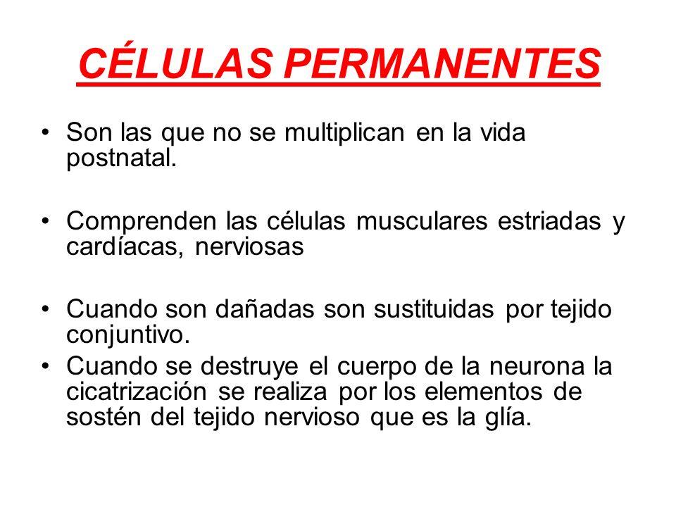 CÉLULAS PERMANENTES Son las que no se multiplican en la vida postnatal. Comprenden las células musculares estriadas y cardíacas, nerviosas Cuando son