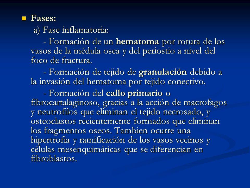 Fases: Fases: a) Fase inflamatoria: a) Fase inflamatoria: - Formación de un hematoma por rotura de los vasos de la médula osea y del periostio a nivel