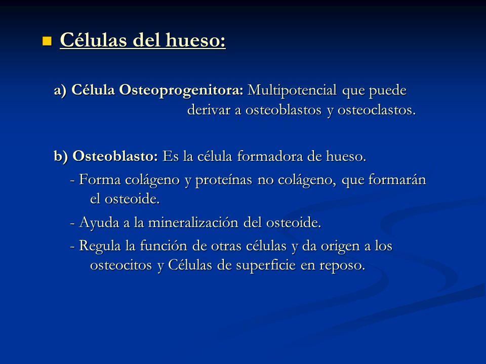 Células del hueso: Células del hueso: a) Célula Osteoprogenitora: Multipotencial que puede derivar a osteoblastos y osteoclastos. a) Célula Osteoproge